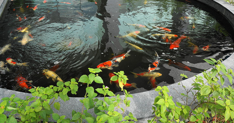 10 best books on koi ponds raising koi fish full home for Keeping koi carp in a pond