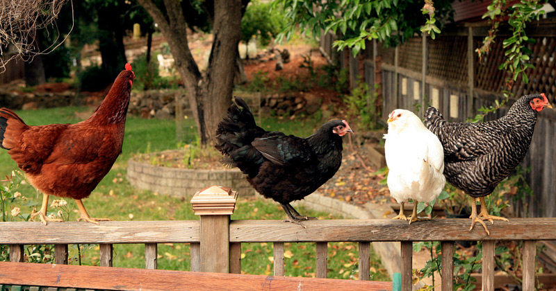 Incroyable Raising Backyard Chickens Books